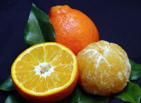 UF develops 'more resistant' mandarin