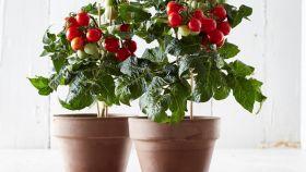 Tesco launches grow-your-own tomato plant
