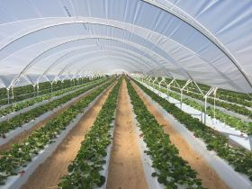 Cuna de Platero harvests first Ávila strawberries