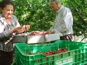 Lack of labour threatens Jerte cherry season