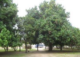 Senegalese mango first for OTC