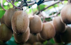Hazel Tech launches new kiwifruit technology