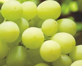"Grapes ""could help in Covid fight"""