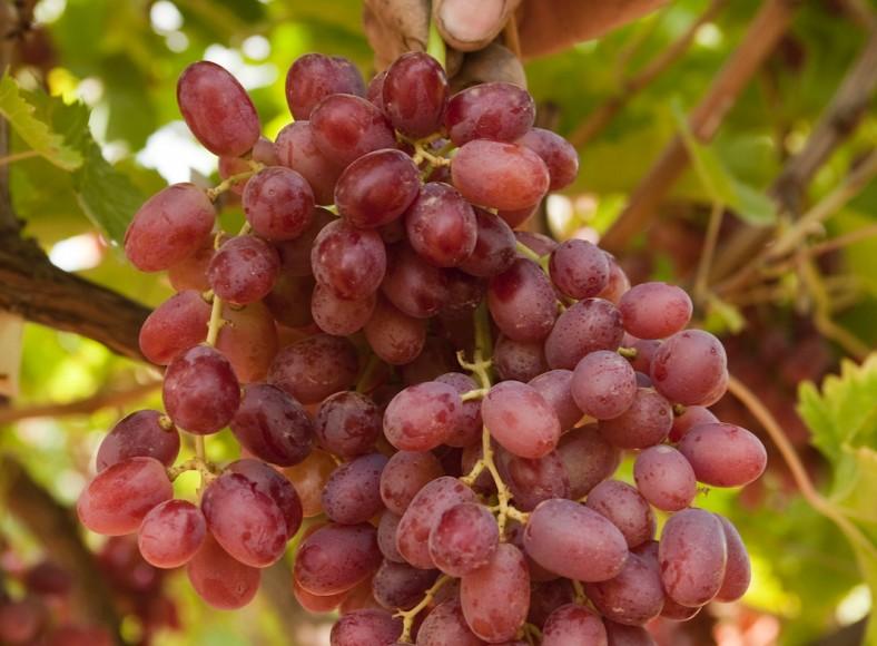 Greeks trial new grape varieties - Seedless grape cultivars ...
