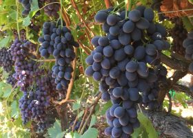 Hot weather slows CA grape season