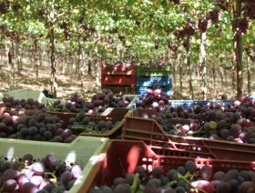 Chile looks ahead to smoother grape campaign