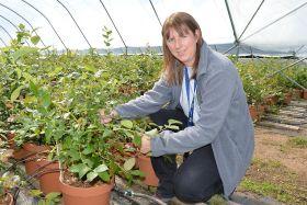 Breeding boost for blueberries