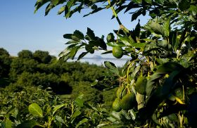 China market open for NZ avocados