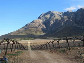 Major table grape plantings in RSA's late regions