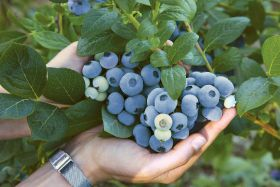 T&G ramps up blueberry portfolio