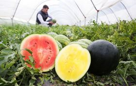 Asda hails record British watermelon crop
