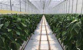 Divemex bumps up organic pepper offering