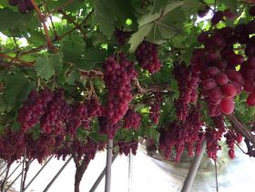 South Africa turns out good grape crop
