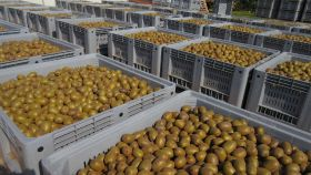 Kiwifruit harvest underway in Italy