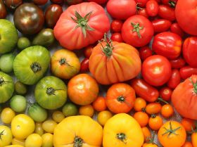 Isle of Wight grower extends speciality tomato season