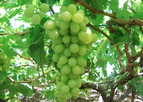 RSA table grapes to bounce back