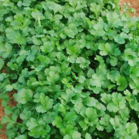 CN Seeds gains rights for coriander variety