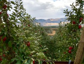 Premium apples drive category growth