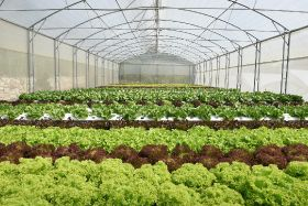 NFT system boosts Lebanese lettuce