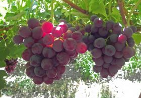 Namibia set for 6m carton grape crop