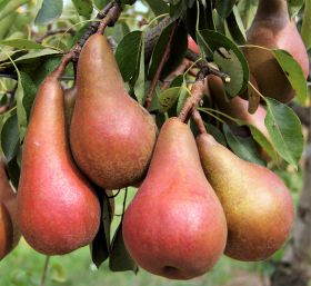 Better pears entering the market