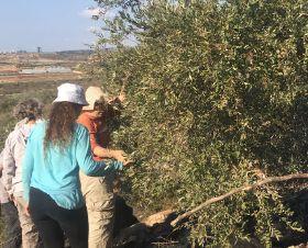 Picking olives in Palestine