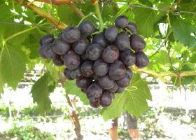 RSA grape exports underway