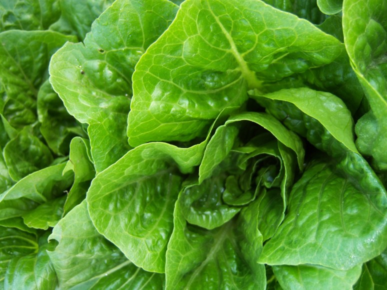 Americans warned not to eat romaine lettuce for now