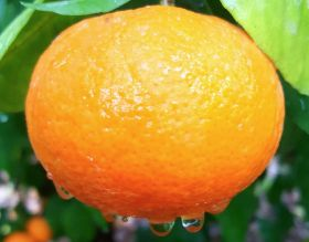 Spain steps up fight against illegal citrus farms