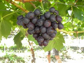 Little cheer for RSA grape industry