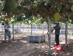 NZ kiwifruit industry addresses labour challenge