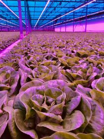 Lettuce supplier installs LEDs to boost yields