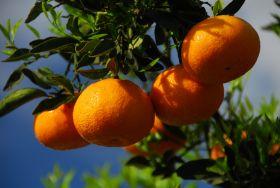 Uruguayan citrus finds favour in US