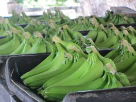 New organic banana brand targets UK and France