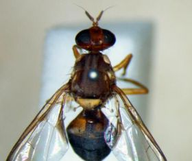 Discovery of fruit fly larvae in Tasmania contained