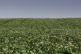 New fungicide for UK to tackle blight