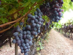 Agriculture Capital adds grapes to portfolio