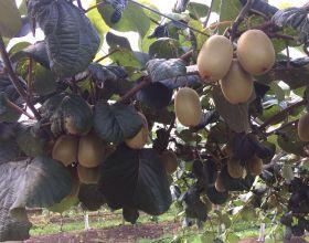 Çekok recognises kiwifruit potential
