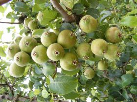 Rocha pears land in Mexico