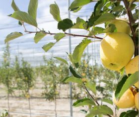 Turkey fills China apple gap in India