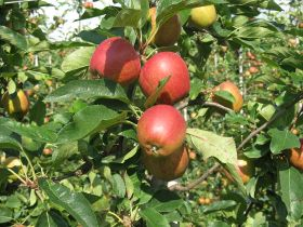 "EAP expects ""great"" 2019 apple crop"