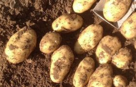 Plans for GM potato trial under fire