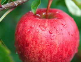 Solid outlook for SH apple season