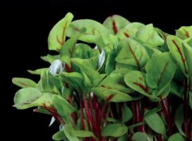 Koppert Cress launches English microgreen mix