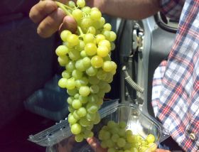 Greece faces varietal challenge