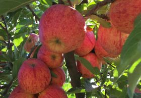 More South American apples head for Europe