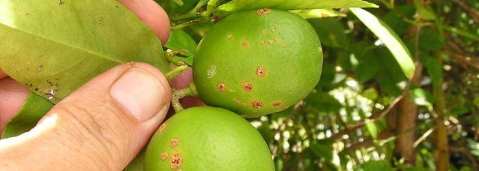 Dogs to help identify citrus canker