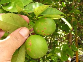 Citrus canker detected in Australia