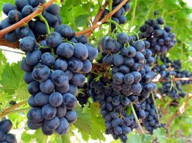 California table grape market 'rattled'