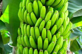 Longmate exports bananas to Vietnam
